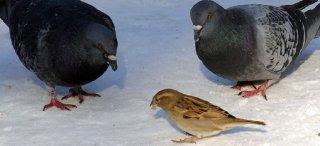 Porumbei Cismigiu